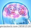 Human Internal Organic - Brain. 28561516