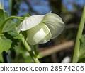豌豆 花朵 花 28574206