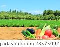 蔬菜 菜地 新鮮 28575092