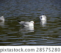 紅嘴鷗 白色 野生鳥類 28575280