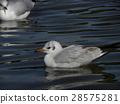 紅嘴鷗 白色 野生鳥類 28575281