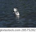 紅嘴鷗 白色 野生鳥類 28575282