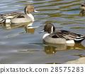 針尾鴨 棕色 褐色 28575283