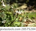 波浪形苦水芹 白色 花朵 28575284