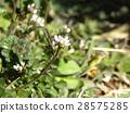 波浪形苦水芹 白色 花朵 28575285