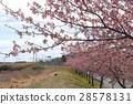 Kawazu cherry blossom trees 28578131