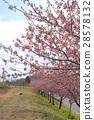 Kawazu cherry blossom trees 28578132