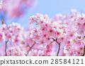 ต้นซากุระ Kawazu บานสะพรั่ง【ถ่ายภาพในจังหวัดชิซุโอกะ·เมือง Kawazu 】 28584121