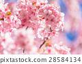 ต้นซากุระ Kawazu บานสะพรั่ง【ถ่ายภาพในจังหวัดชิซุโอกะ·เมือง Kawazu 】 28584134