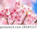 ต้นซากุระ Kawazu บานสะพรั่ง【ถ่ายภาพในจังหวัดชิซุโอกะ·เมือง Kawazu 】 28584137