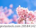 ต้นซากุระ Kawazu บานสะพรั่ง【ถ่ายภาพในจังหวัดชิซุโอกะ·เมือง Kawazu 】 28584142