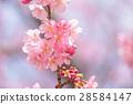 ต้นซากุระ Kawazu บานสะพรั่ง【ถ่ายภาพในจังหวัดชิซุโอกะ·เมือง Kawazu 】 28584147