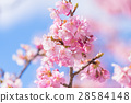 ต้นซากุระ Kawazu บานสะพรั่ง【ถ่ายภาพในจังหวัดชิซุโอกะ·เมือง Kawazu 】 28584148