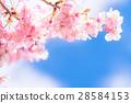 ต้นซากุระ Kawazu บานสะพรั่ง【ถ่ายภาพในจังหวัดชิซุโอกะ·เมือง Kawazu 】 28584153