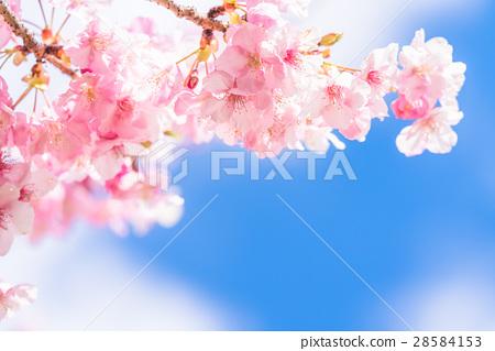 河津櫻花盛開[攝於靜岡縣河津町] 28584153