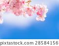 Kawazu櫻花盛開【靜岡縣拍攝·河津町】 28584156