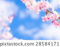 樱花 樱桃树 河津樱 28584171