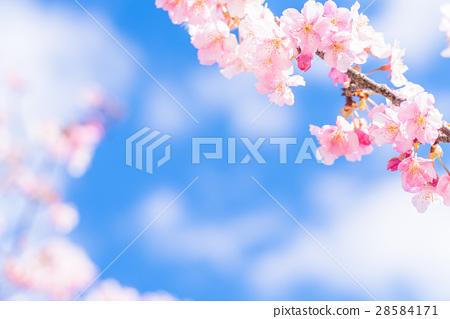 河津櫻花盛開[攝於靜岡縣河津町] 28584171