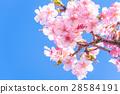 Kawazu櫻花盛開【靜岡縣拍攝·河津町】 28584191