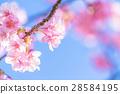 ต้นซากุระ Kawazu บานสะพรั่ง【ถ่ายภาพในจังหวัดชิซุโอกะ·เมือง Kawazu 】 28584195