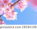 ต้นซากุระ Kawazu บานสะพรั่ง【ถ่ายภาพในจังหวัดชิซุโอกะ·เมือง Kawazu 】 28584196