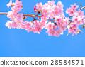 Kawazu櫻花盛開【靜岡縣拍攝·河津町】 28584571