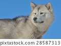 Greenland sled dogs 28587313