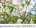 Flowers of the cherry blossoms on a spring day 28588915