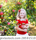 Little girl picking apple in fruit garden 28591510
