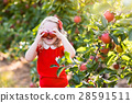 Little girl picking apple in fruit garden 28591511