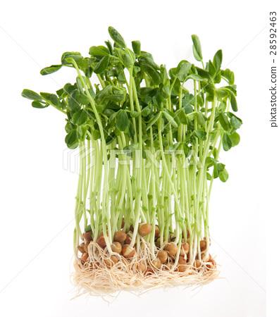 大豆种子(水培) 28592463