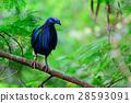 Caloenas Nicobarica Bird. 28593091