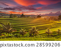 Beautiful sunrise over the Jatiluwih Rice Terraces 28599206