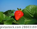 草莓 28603169