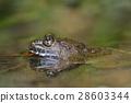 福建大頭蛙 28603344