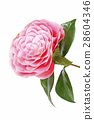 pink camellia flower isolated on white 28604346