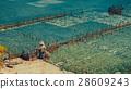 People collect seaweed plantations algal - Nusa 28609243