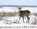Ezo deer in midwinter (male) 28614904