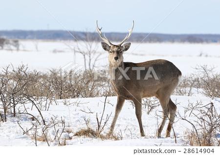 Ezo deer in midwinter (male) 28614904