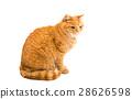 動物 貓 貓咪 28626598