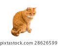 動物 貓 貓咪 28626599