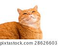 貓 貓咪 有條紋的 28626603
