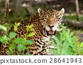 Wild jaguar in the jungle of Jucatan in Mexico 28641943