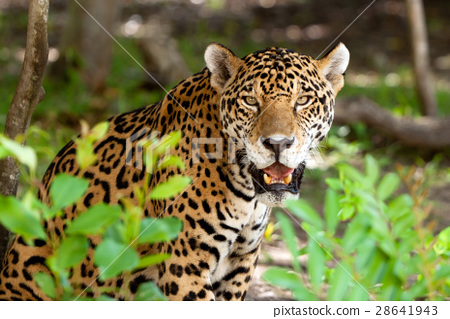 Wild jaguar in the jungle of Jucatan in Mexico 28641943