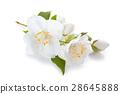 Jasmine flowers with leaves. 28645888