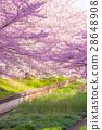 樱花盛开 28648908