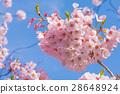 樱花盛开 28648924