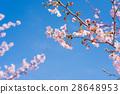 樱花盛开 28648953