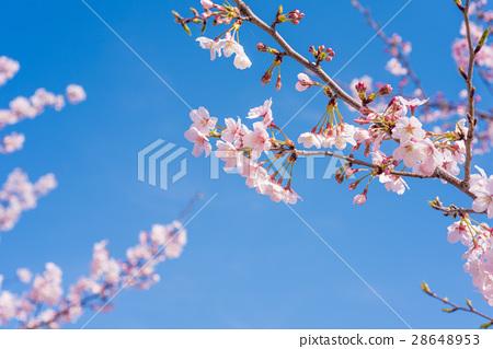 櫻花盛開 28648953