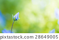 nemophila, bloom, blossom 28649005